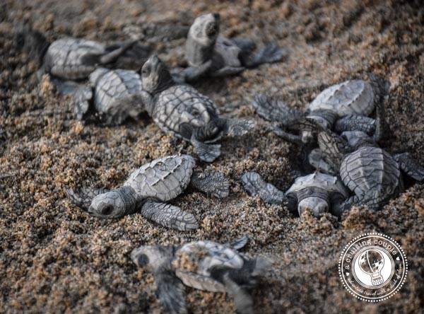 3 Reasons Why You Need to Visit Punta de Mita, Mexico - Baby Turtles Head to the Ocean