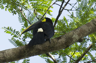Panama: Chestnut-mandibled Toucan Close-up