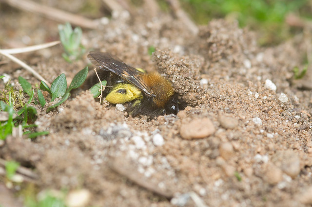 134: Andrena clarkella (f)
