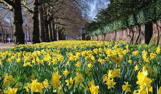 Daffodils Cleared for Take-off!