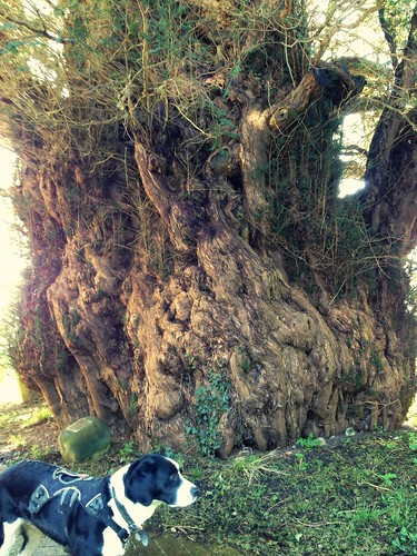 Old Yew Ulcombe