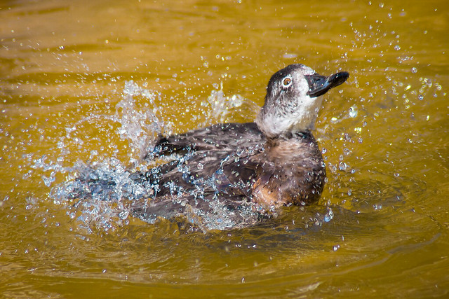 Duck, Splashing, Water, Happy, Joyful