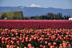 2014 郁金香花节 Skagit Valley Tulips Festival