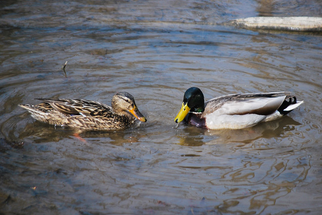 Pair of Mallard Ducks at Mason Neck State Park is part two for August's Featured Park of the Month.