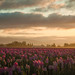 Tulip Sunrise #2 by Jeff Carlson
