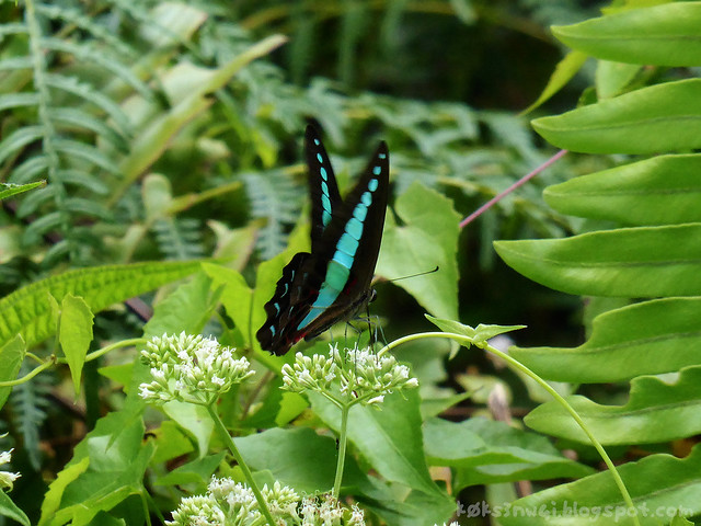 Santubong 19 Common Bluebottle (Graphium sarpedon) Sucking Nectar