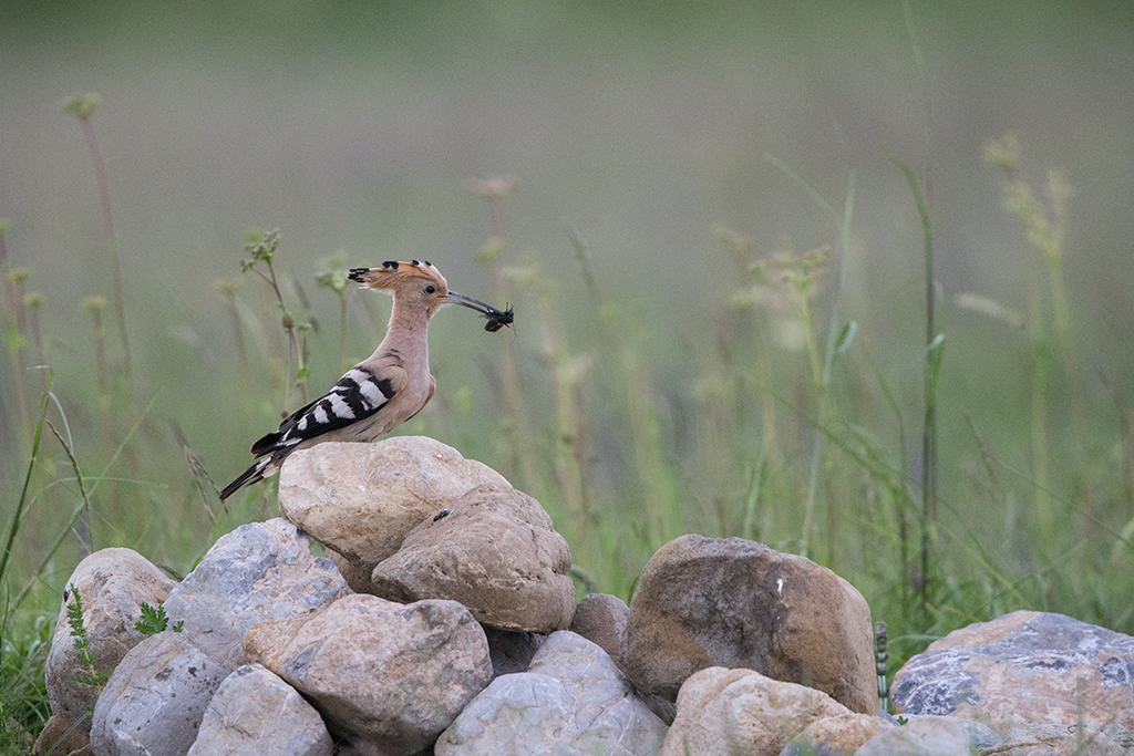 Hoopoe 1000mm