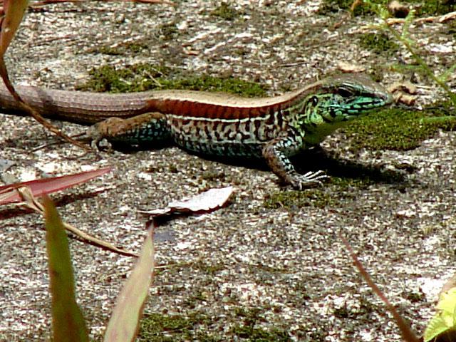 trippy-lizard