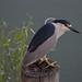 Black Crowned Night Heron by Tina Manickam