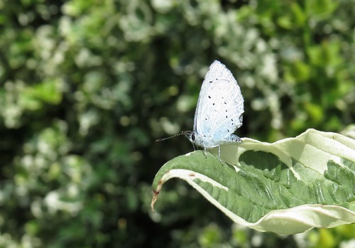 1670 Common Blue butterfly maybe