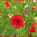Wild flowers by Ann1635