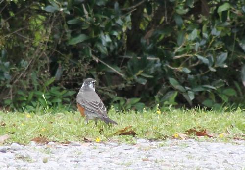 bird robin americanrobin turdusmigratorius leucism