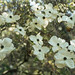 Small photo of American dogwood. Bracts and tiny flowers. Abbotsbury