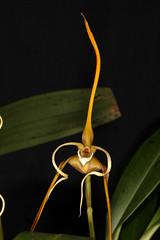 Maxillaria fractiflexa 2017-02-13 01