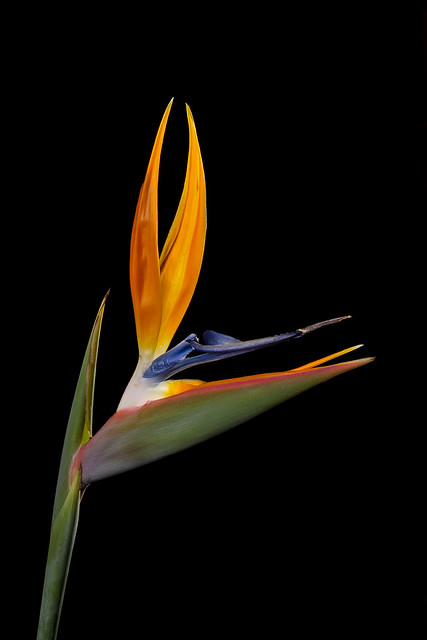 Lighting Up A Bird Of Paradise