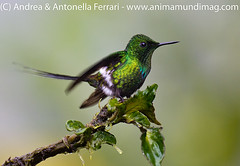 Green Thorntail Discosura conversii
