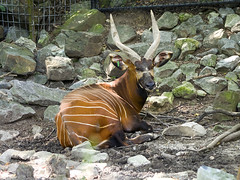 Memphis Zoo 08-31-2016 - Bongo 6
