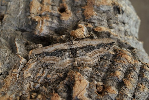 Small Waved Umber (Horisme vitalbata)