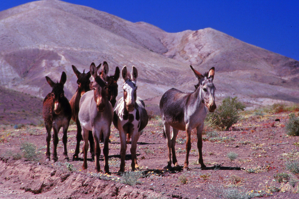 Mulos salvajes en el desierto de Atacama. Autor, Chris Huggins