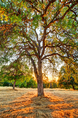 The Veins of an Oak at Sunset - Sutter Creek, CA