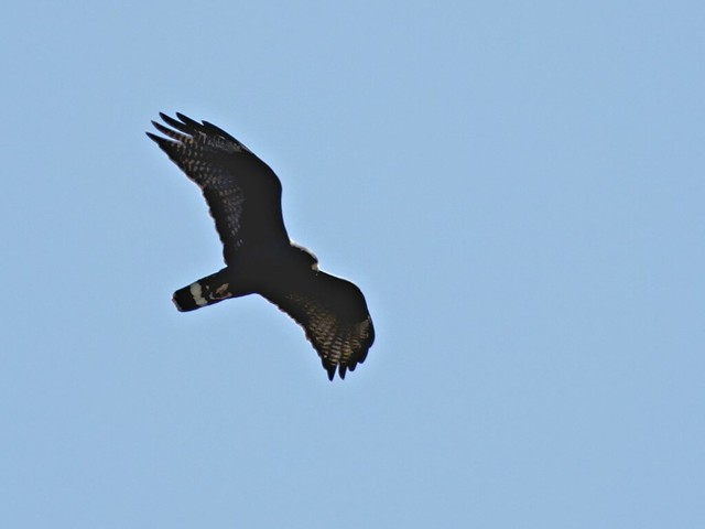 Zone-tailed Hawk 2-20130619