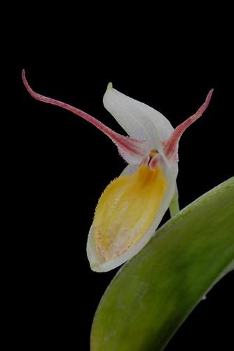 Lindleyalis hemirhoda