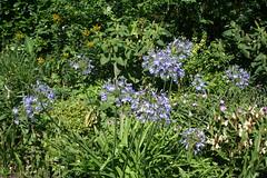 Agapanthaceae
