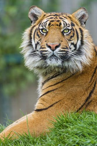 Sumatrant tiger posing well by Tambako the Jaguar