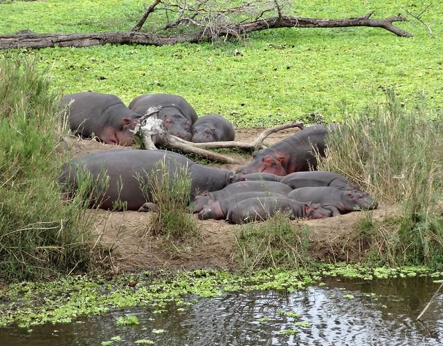 Hipopótamos, Kruger