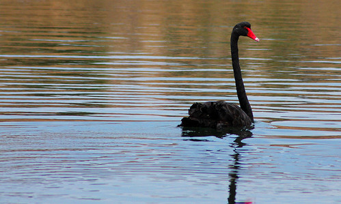 Black Swan Noarlunga Adelaide #dailyshoot.