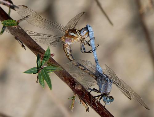 Mating Epaulet Skimmers. Orthetrum chrysostigma.