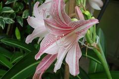 amaryllis belladonna, lily, flower, flora, hippeastrum,