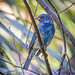 Felts Preserve Female Indigo Bunting 02-16-2014 by Jerry's Wild Life