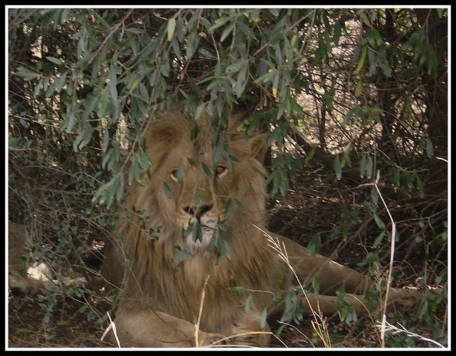 BIG 5 - Lion
