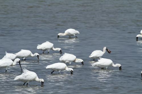 黑面琵鷺覓食。(攝影:鄭和泰)