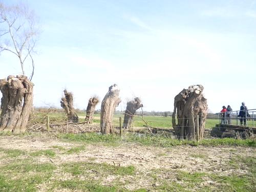 Willow pollards