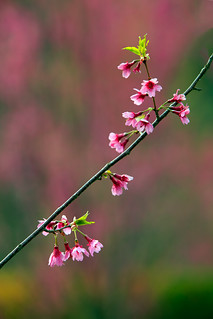 Prunus 'First Lady' (Flowering Cherry)