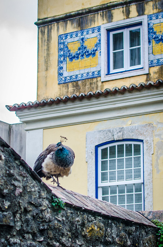 Along with dozens of cats, proud peacocks roam the grounds of Lisbon's St. George Castle.