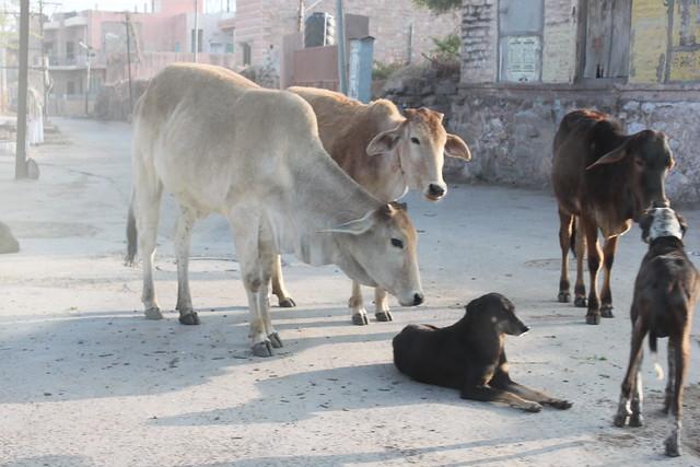 20130224_2539-Jodhpur-cows-dog