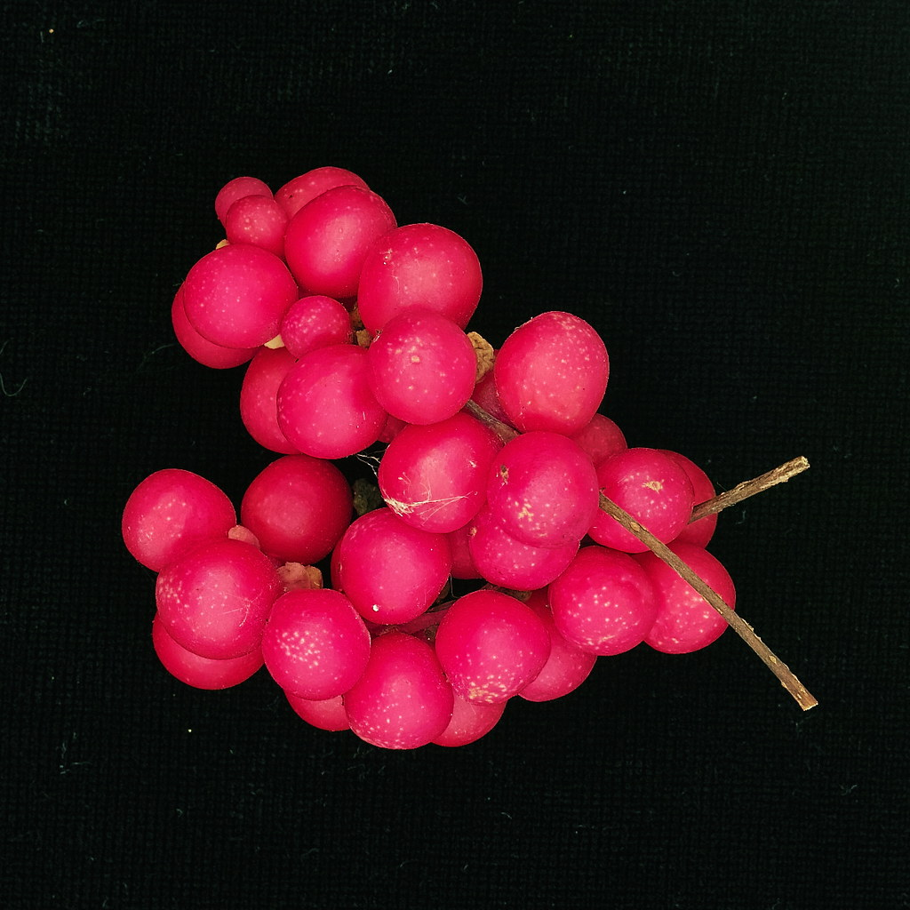 DP2M4777 Schisandra chinensis Berries from the Dacha Garden