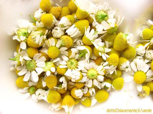 Immagini di camomilla, fiori di camomilla, la raccolta