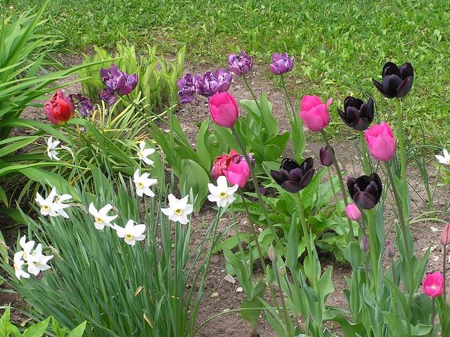 Tulipa 'Queen of Night' in perennials bed