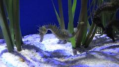 seahorse, organism, marine biology, fauna, aquarium lighting, freshwater aquarium, reef,