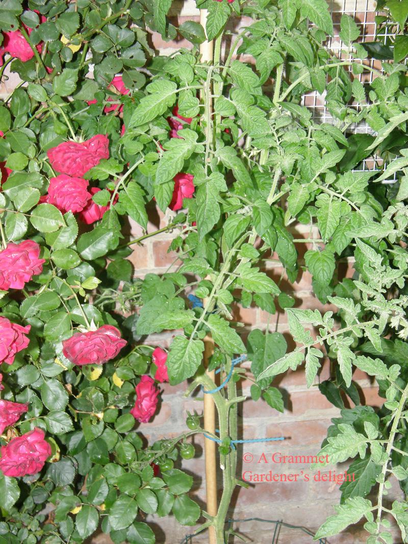 gardener's-delight