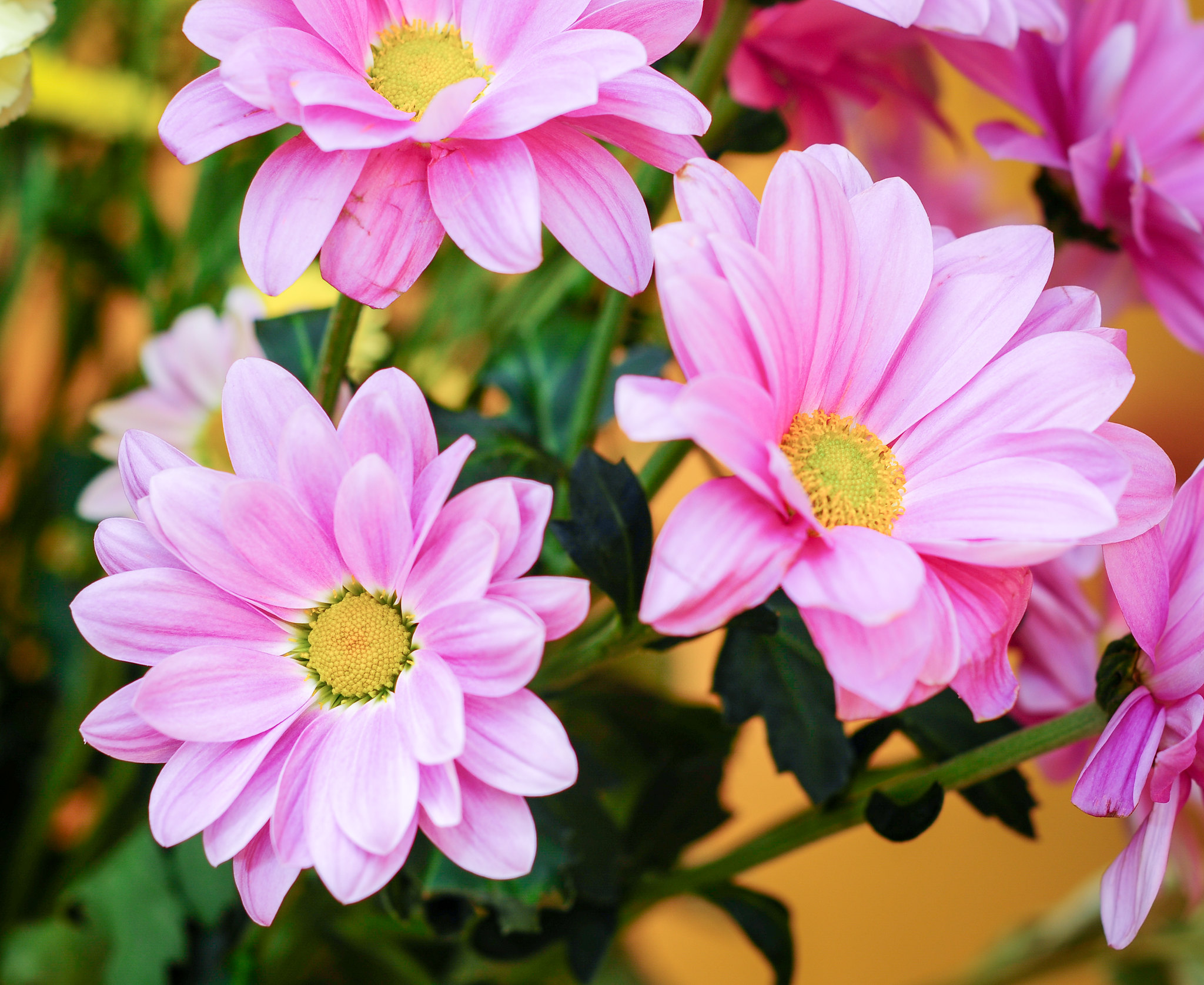 Pink Flowers With Yellow Centres-2