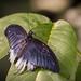 Wisley Butterfly-10