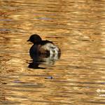 Aves en las lagunas de La Guardia (Toledo) 12-3-2017