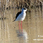 Cigüeñuelas en las lagunas de La Guardia (Toledo) 19-3-2017