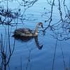Good evening #swan