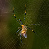 Large Woodland Spider and prey